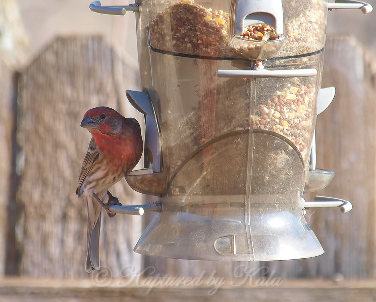 Male House Finch On My Daughter's Feeder