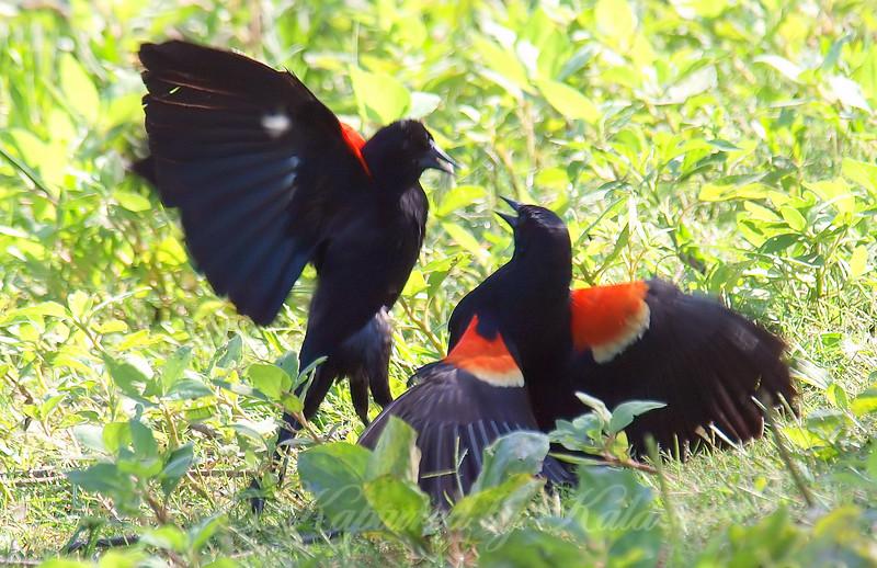 Red-winged Blackbird Death Match 7