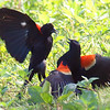 Red-winged Blackbird Death Match 7