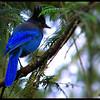 Steller's Jay ~ Cyanocitta stelleri