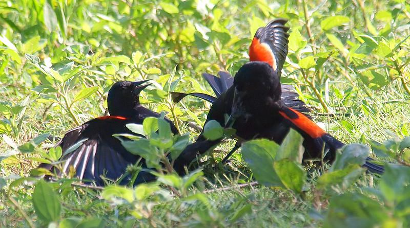 Red-winged Blackbird Death Match 8