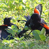 Red-winged Blackbird Death Match 8