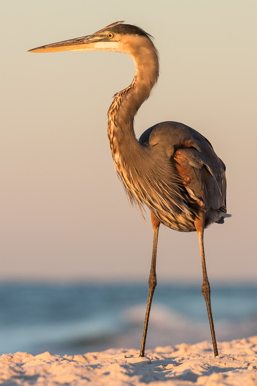 IMAGE: https://photos.smugmug.com/Birds/i-Z9wPqJ5/0/XL/Orange%20Beach%2010092016-437-XL.jpg