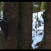 Pileated Woodpecker (female) ~