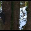 Pileated Woodpecker (female) ~