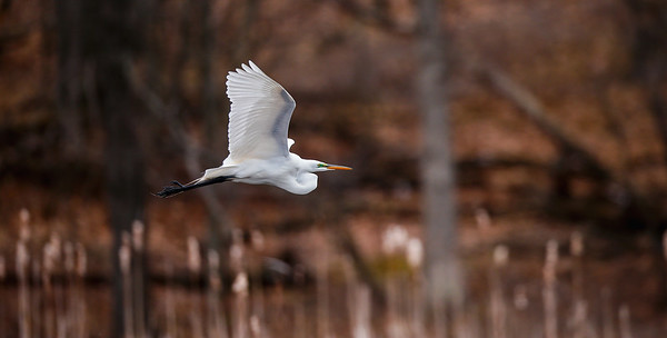 Egret In Flight III