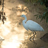 Sunrise Egret
