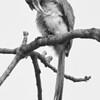 Птица носорог - Индия / A Hornbill - India