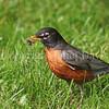 Turdus migratorius – American robin 1