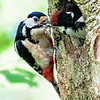 Great Spotted Woodpecker - Feeding Chick