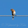 Female Eastern Bluebird View 2