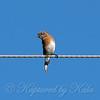 Female Eastern Bluebird View 2
