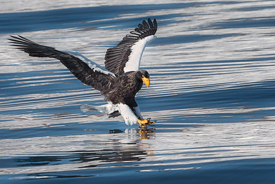 Steller's Sea Eagle, Rausu, Hakkaido, Japan