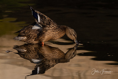 Female Mallard, Dorset