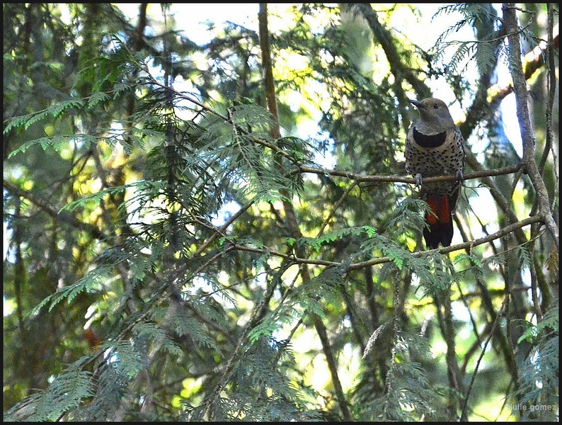 Northern (red-shafted) Flicker ♀