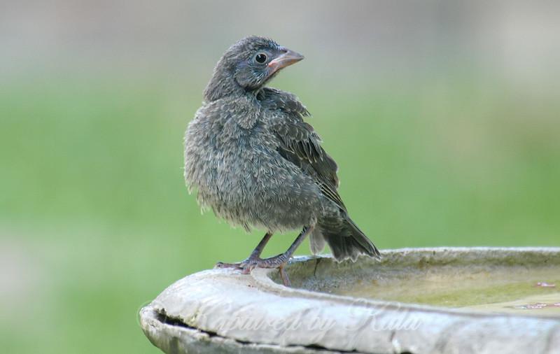 Fluffy Baby At The Bird Bath