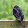 Perhaps another Elderly BlackBird with only one leg