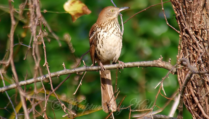 Beautiful Brown Thrasher