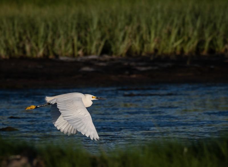 Snowy Egret flying in