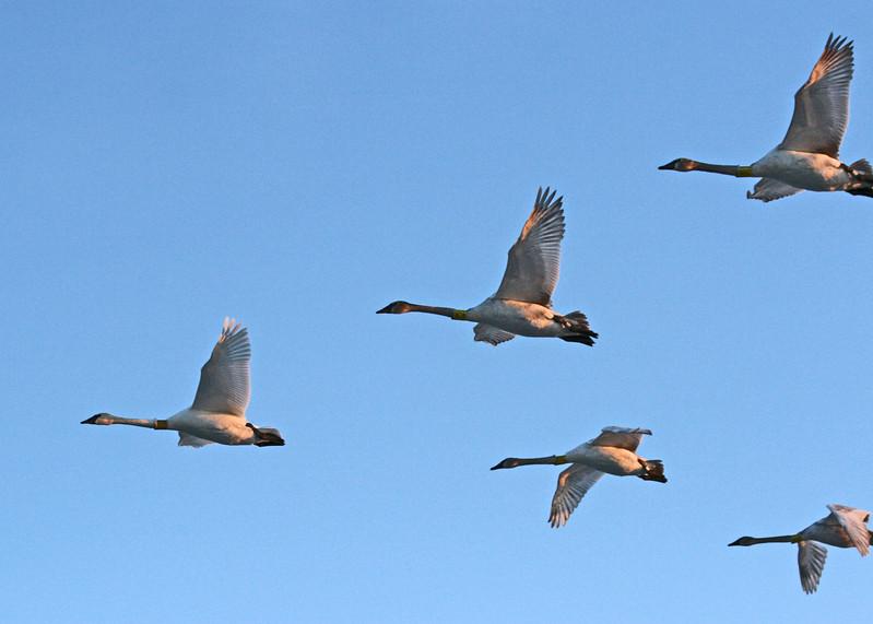 Trumpeter Swans in flight.
