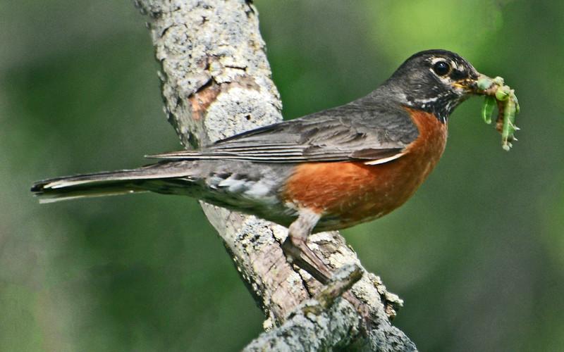 Feeding Robin.
