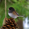 Dark-eyed Junco ~ Junco hyemalis
