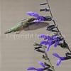 Archilochus colubris – Ruby throated hummingbird on 'Black and Blue' Hummingbird Sage 6
