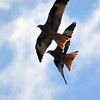 Red Kite Courtship 6