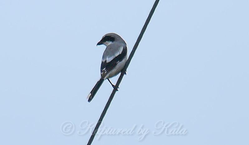 Rare Sighting Of A Loggerhead Shrike View 1