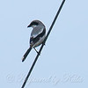 Rare Sighting Of A Loggerhead Shrike View 1