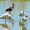 Four White Ibises gather for a morning feeding.