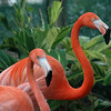 Flamingos, Busch Gardens, Central Florida