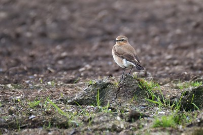 Wheatear at Compton - 1st May 2018