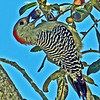 Red-bellied Woodpecker with an acorn.