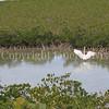Ardea herodias occidentalis – Great white heron 11