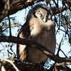 Verreaux's Owl