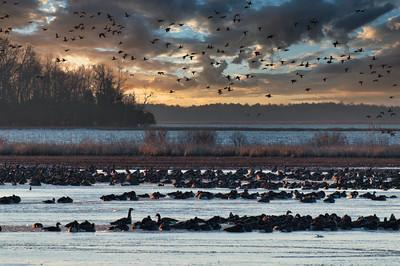 Canada Geese Blackwater 5993