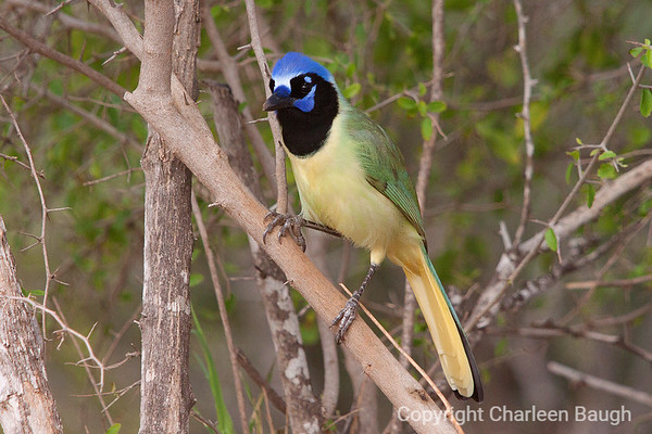 Green Jay_MG0677-492011