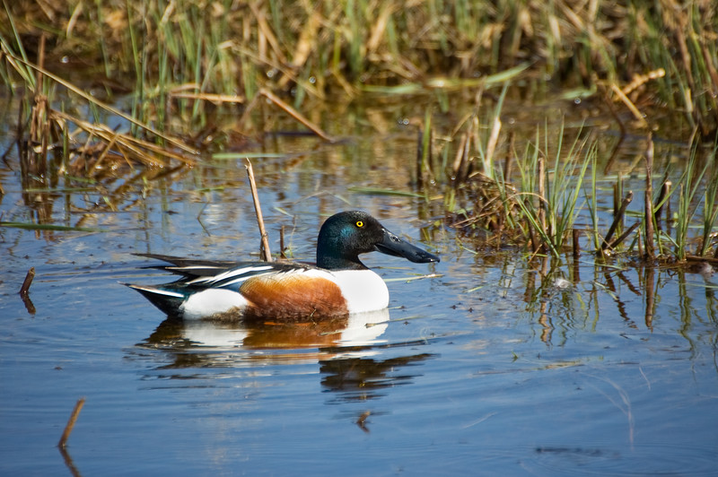 Northern Shoveler - Oak Hammock Marsh, Manitoba