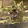Water Rail - Freemans Marsh Hungerford