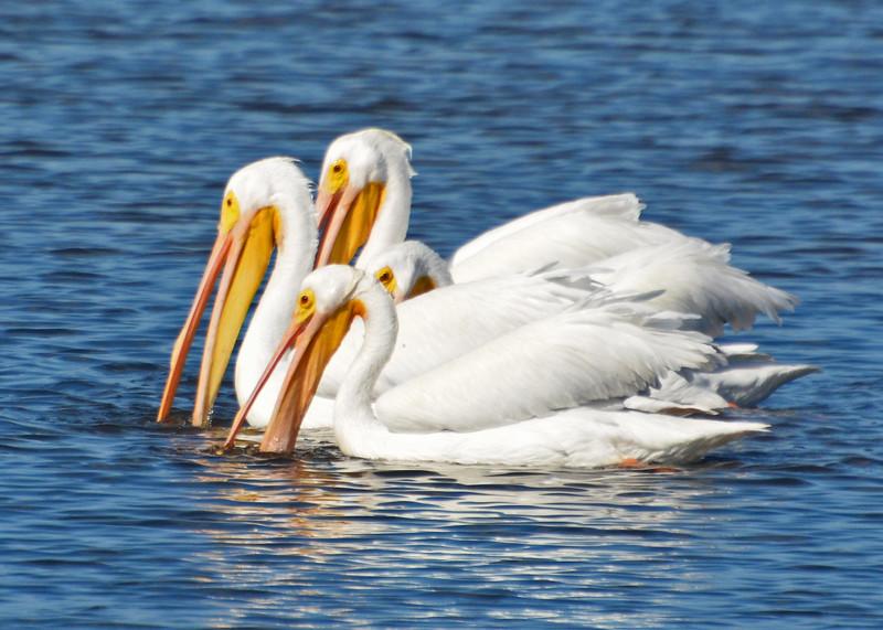 White Pelicans feeding.