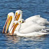 White Pelicans feeding.