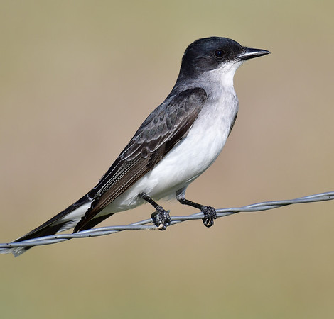 Eastern Kingbird looking on