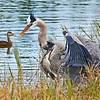 Great Blue Herons with their fresh catch.