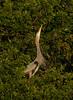 BonitaBay Great Blue Heron Stretching Neck,cropped more_6119_1-9-2020_DonnaLovelyPhotos com