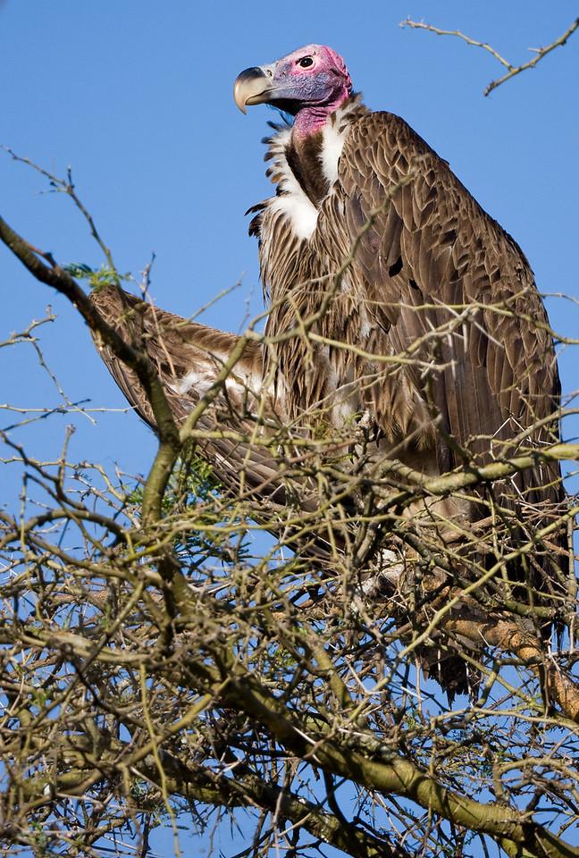Lappet-Faced Vulture (Torgos tracheliotos).
