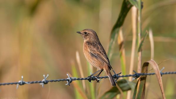 Female Stonechat 8 -  Speen Moors Walk