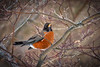 Late Winter Robin