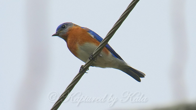 Return Of The Bluebirds