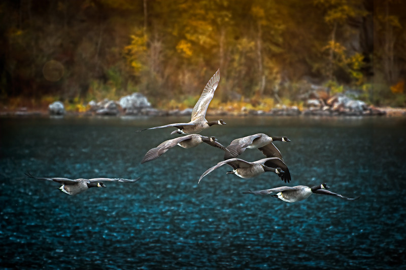 Canada Geese in Autumn